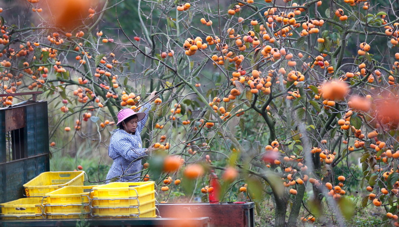 Aerial photography, persimmon harvest in China
